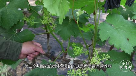 怎样判断葡萄树营养是否充足?都有哪些判断依据?小阳实物讲解