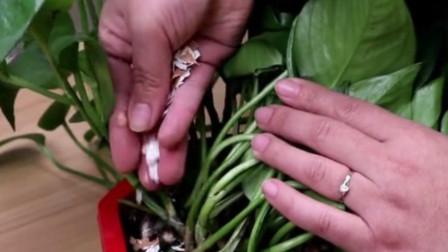花盆里撒一把鸡蛋壳,作用真厉害,不生虫不黄叶,叶绿根壮爆满盆