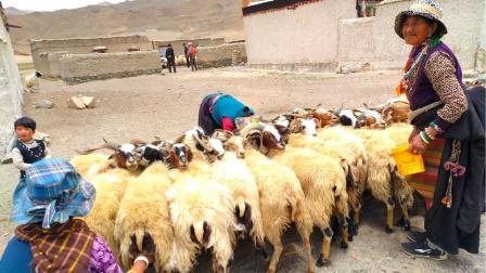 骑行:新藏线 2017 在大吉岭乡看藏民挤羊奶,从拉藏乡到萨嘎县