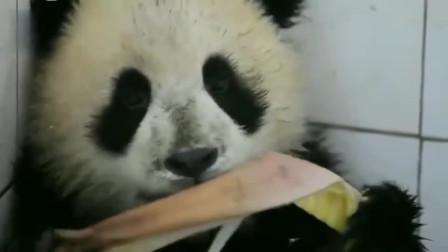 熊猫宝宝挖了一天的煤累坏了, 靠在墙角大口吃笋