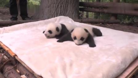 熊猫宝宝:奶爸做保育工作萌萌哒,叠个小被被给宝宝都好细心哦!萌化了