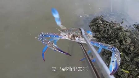 赶海遇到好多这种蓝色的螃蟹,抓了那么多螃蟹太过瘾了
