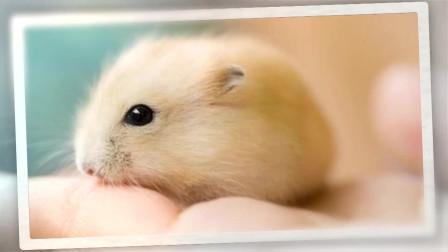布丁鼠可爱又迷人