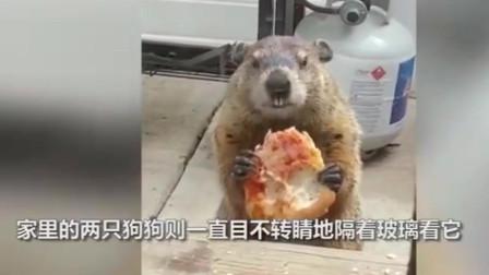 气死狗?美国土拨鼠窗户前吃播 当狗子面啃一小时披萨:馋死你俩