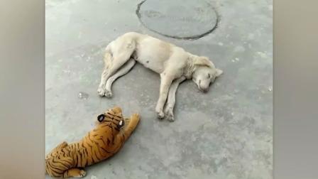 对猛兽的恐惧是写在基因里的当狗狗看到玩具老虎