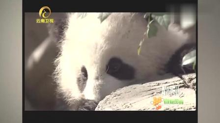 """中国境外大熊猫圈养最多的地方,每个都成为了国民""""偶像"""""""