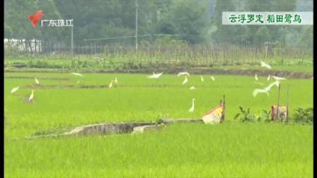 广东今日关注 2020 云浮罗定  稻田鹭鸟
