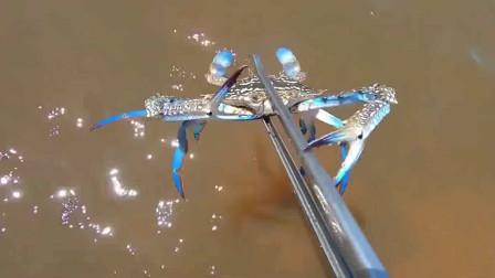 赶海抓到好多螃蟹和皮皮虾,这种蓝色的螃蟹很少见