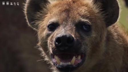 """鬣狗捕杀2吨重的河马,没有杀死直接""""掏肛"""",镜头记录全过程啊"""