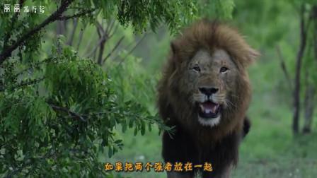 """5只老虎围殴一只狮子,接下来的一幕,才知道谁是真正的""""王者""""啊"""