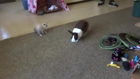好奇的小奶猫,被兔子带偏了:我还没见过这么大的兔子