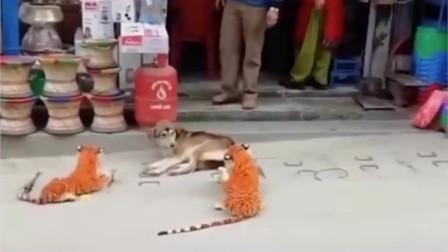 在印度,路边看到狗子在呼呼大睡,醒来发现旁边两只老虎,当场吓跑!
