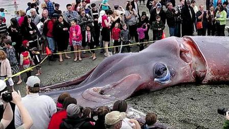 """体型最庞大的""""海洋生物"""",寿命仅有18个月,鲸鱼都吃不掉它!"""