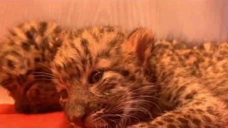 """萌化了!""""无辜""""的大眼睛圈粉无数,杭州野生动物世界珍稀金钱豹双胞胎满月亮相!#世界地球日"""