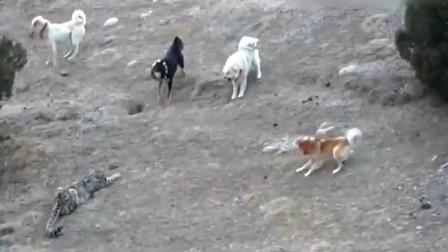 雪豹VS五只牧羊犬