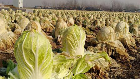 美国荷兰皆中招,一场农产品危机正在全球上演,中国情况开始反弹