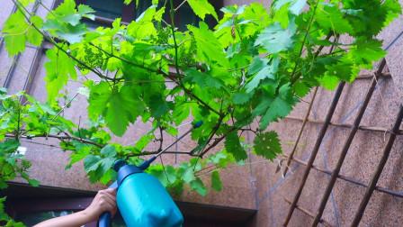 盆栽葡萄,教你1招,果子能长得更多更甜!