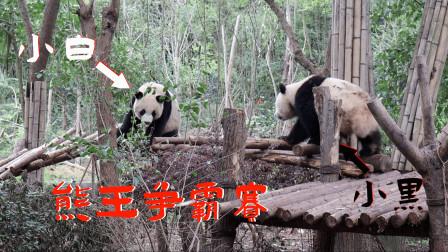 探访成都大熊猫基地,偶遇大熊猫打架,直接开播第一届熊王争霸赛