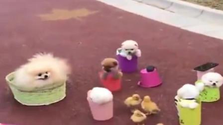小茶杯犬被主人套圈圈,哎呀妈呀,大姐你也太笨了吧
