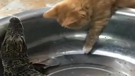 橘猫:要不是我猫爪功没练好,怎么要看你这鳄鱼的脸色!