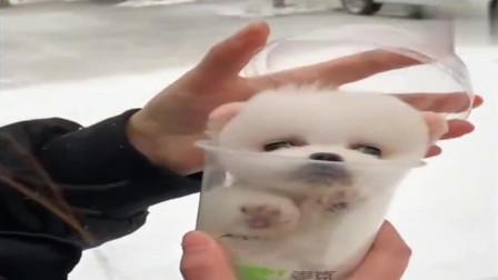 小姐姐你手里拿的啥,这么小呀,好可爱的小茶杯犬啊