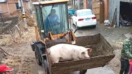 河北大哥是要把猪送到哪去,居然连这车都用上了,猪在车斗里瑟瑟发抖