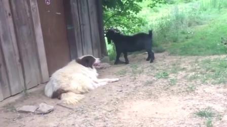 陕西农村看到的一幕,羊一直挑衅狗大哥,狗子给了一个眼神让它自己去体会!