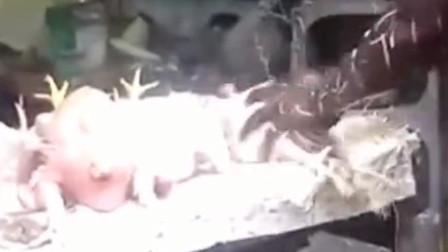 印度小哥做手扒鸡,这用尽全力的场面逗乐我了哈哈!