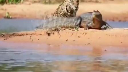 非洲大猫:只要是鱼都归猫管,哪怕你是鳄鱼!