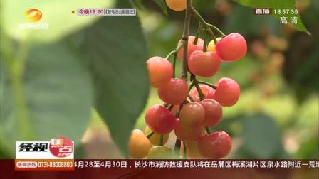 水晶樱桃挂满枝:常宁种植户自学高端种植技术脱贫致富