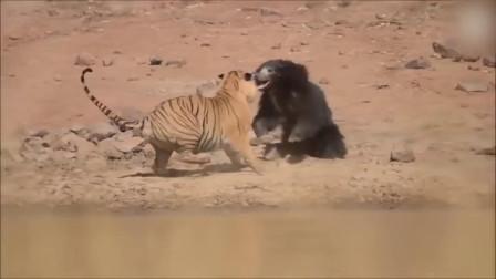 谁才是王者?熊对狼和熊对虎,真实记录的争斗!