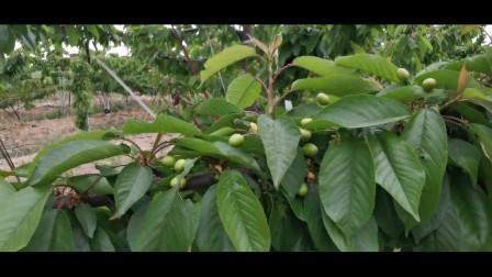 大樱桃管理,摘心小技术,增加果个有利于花芽分化