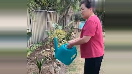 老外在中国:丈母娘种的苹果树结果子了,抱怨洋女婿不给浇水,杨姐还煽风点火