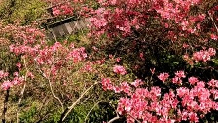 麻城龟峰山看花20200429