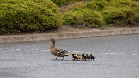 母鸭子带着一群小鸭子过马路,网友:最后一只太有趣了!