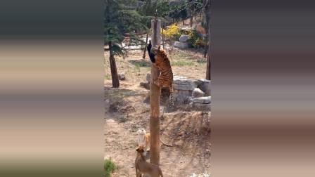 老虎爬树抢夺食物,身手矫健
