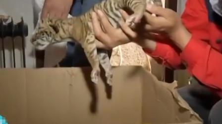 荆州:中山公园动物园迎新生命,全国首例虎狮虎兽宝宝出生