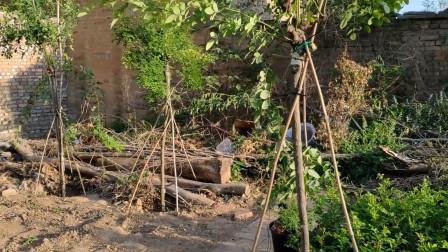 2米高的树状月季,2个失误导致半死不活,肠子都悔青了
