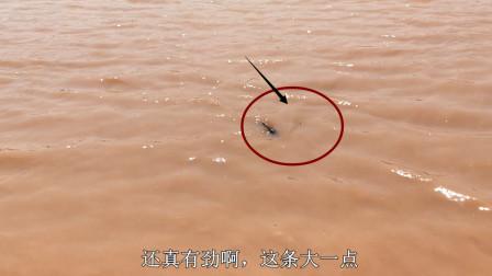 农村小伙黄河钓鱼,一竿甩到黄河鲤鱼,拉出水面露大脊梁骨,过瘾