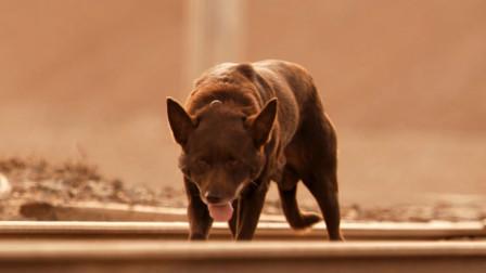 真实事件改编,一只穿越澳洲的流浪狗,一生都在寻找主人!