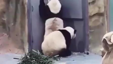 两个熊猫谁也不服谁,见面就开始打