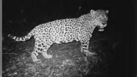 伯利兹中部美洲虎的体型数据