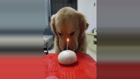 狗狗啃南瓜萝卜,一个馒头就是生日蛋糕