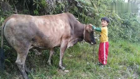 贵州农村一5岁小孩放牛,几百斤的大牛这么听话,看小孩是怎么做的