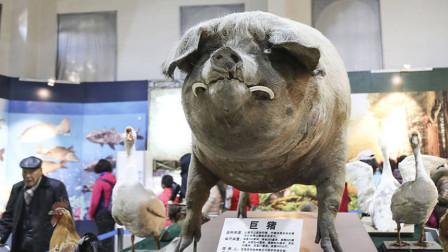 """老农把猪仔当宠物养,5年养出1800斤""""猪王"""",如今成镇馆之宝!"""