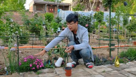 会开花的草皮,耐热、耐寒、没有病虫害,开花量巨大