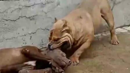 美国比特犬使诈装晕倒,不幸被恶霸给识破了,原来战神比特犬也有怂的时候啊