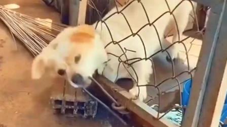中华田园犬成功逃脱牢笼,要是二哈的话,就是另一个故事了