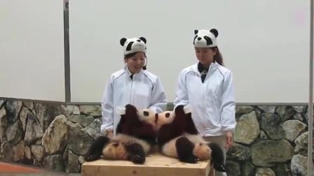 熊猫:超可爱熊猫宝宝们被奶妈抱出来,争先恐后抢瓶瓶奶,萌力指数满分
