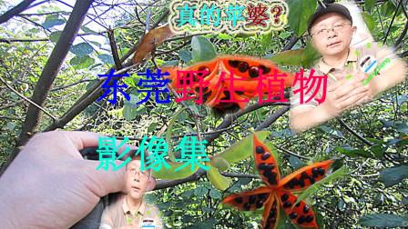 寻找美乡村中的真假苹婆树
